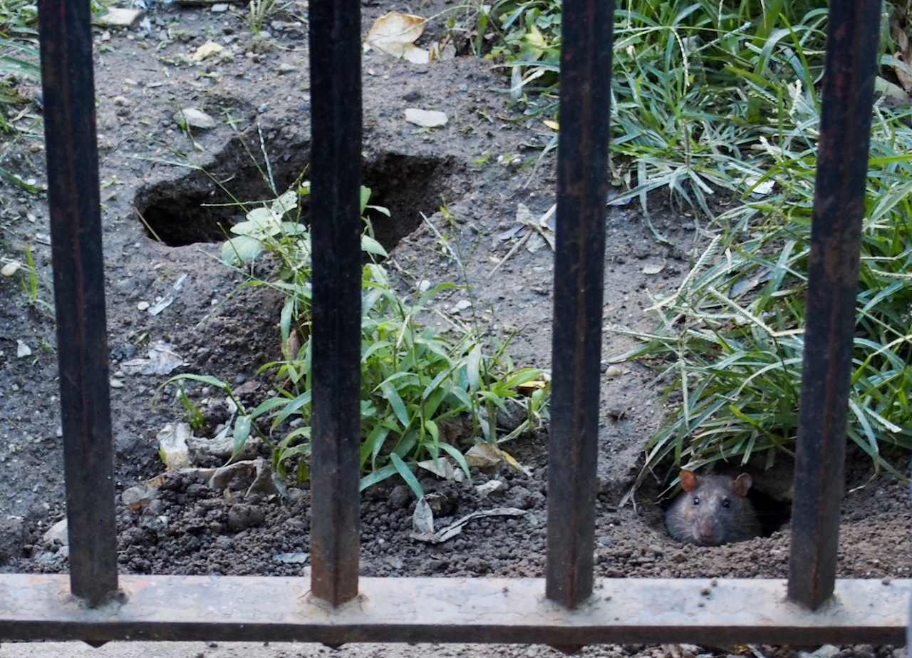 Rats run wild in NYCHA complexes